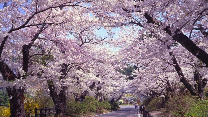 【桜坂】温泉街から鏡が池へ向かう桜坂。桜のシーズンは毎年見ごたえのある桜を見ることができます。