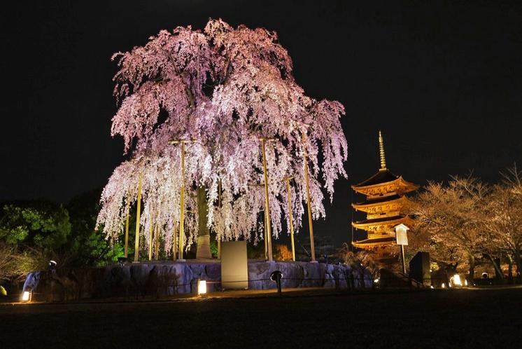 【夜の京都】東寺_不二桜ライトアップ