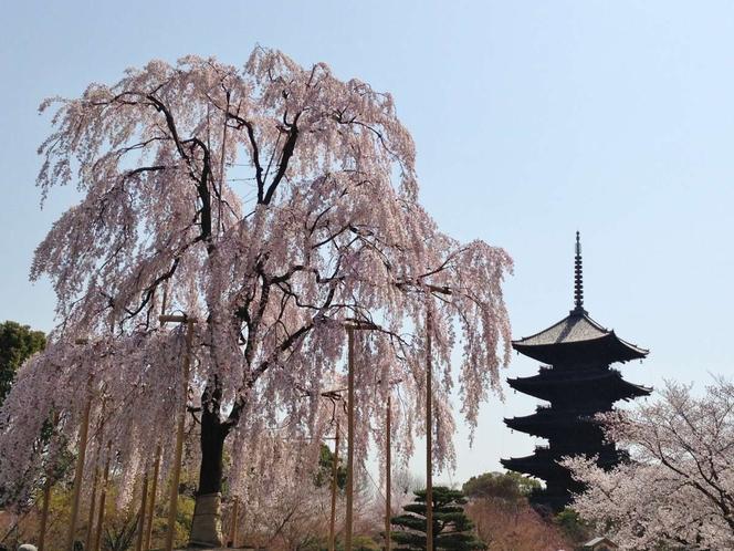 ◆観光◆東寺☆不二桜・見頃4月上旬☆