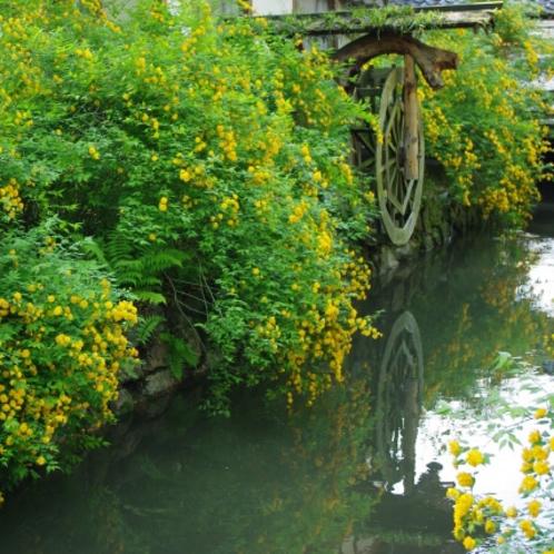 松尾大社の山吹。境内の川沿いを中心に約3000本の山吹が咲きます(4月中旬~)