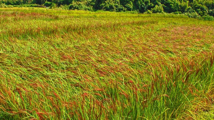 当宿がある豆酘は、古来から伝わる赤米を神田で育てています。
