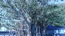 *【佐多岬展望台】車で約10分★駐車場では巨大なガジュマルの木がお出迎え♪