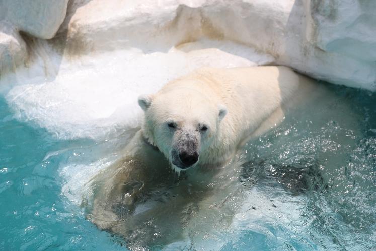 上野動物園の白くま