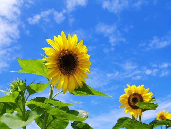 宮古島の強い日差しと向日葵