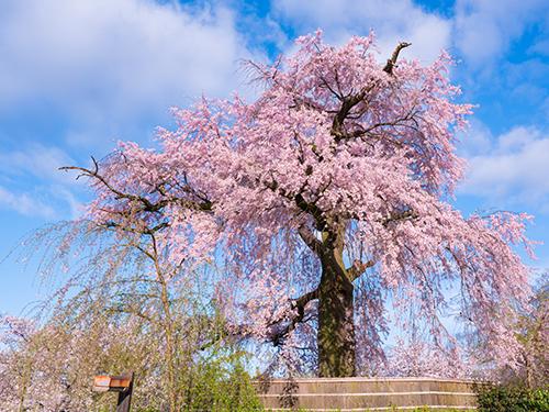 【桜スポット・円山公園】京都随一の桜の名所〈東西線で約24分〉