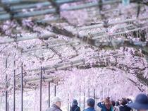 【桜スポット・半木の道】葵橋から御薗橋までの約2キロにわたった植えられたソメイヨシノ〈烏丸線約22分