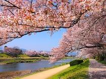 【桜スポット・鴨川】御池通~五条通の約1.8キロの桜並木、川沿いを散歩しながら桜を楽しめる