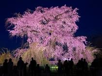 【桜スポット・円山公園】歌人・与謝野晶子も愛でたという「祇園の夜桜」〈東西線で約24分〉