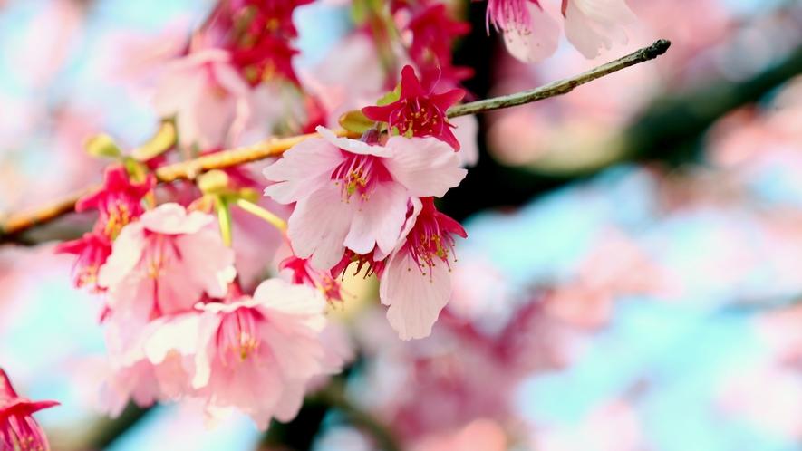 ◆色の鮮やかなピンクの掛川桜。春の掛川も見どころ満載です!お立ち寄りください♪