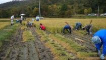 米作り くるみちゃんの田んぼ 稲刈り