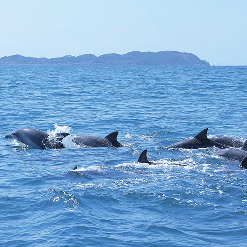 ミナミバンドウイルカが98%の確率で年中観れる♪【イルカウォッチング】
