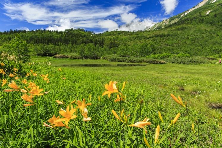 ニッコウキスゲが咲く夏の「栂池自然園」