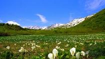 ミズバショウの群生「初夏の栂池自然園」
