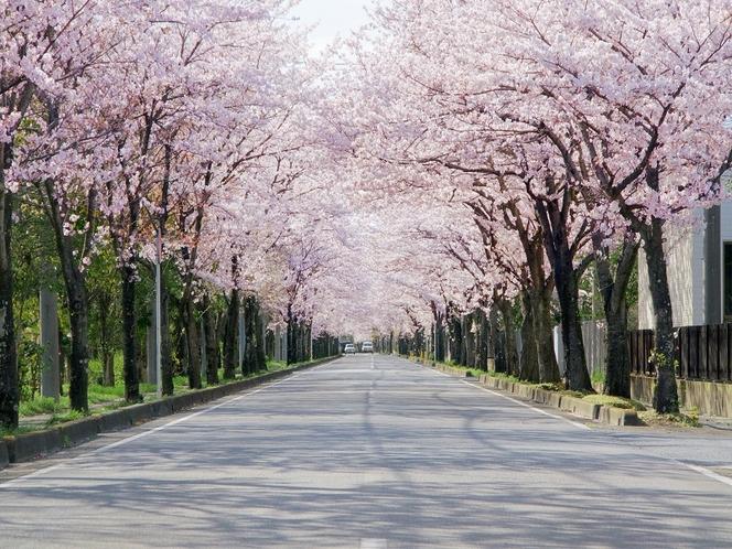 例・桜並木