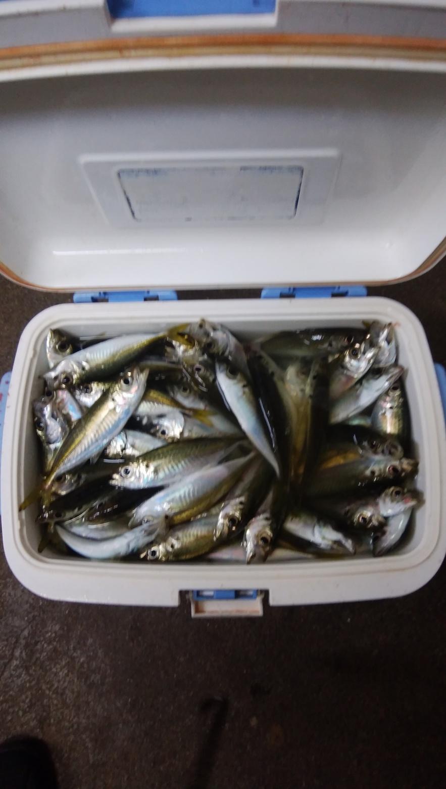最近釣った魚