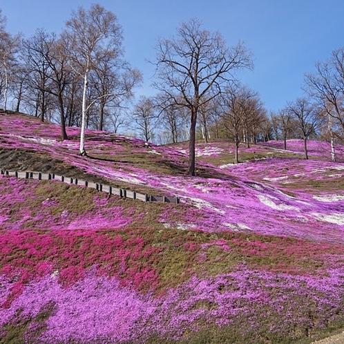 山全体に芝桜が咲き乱れる