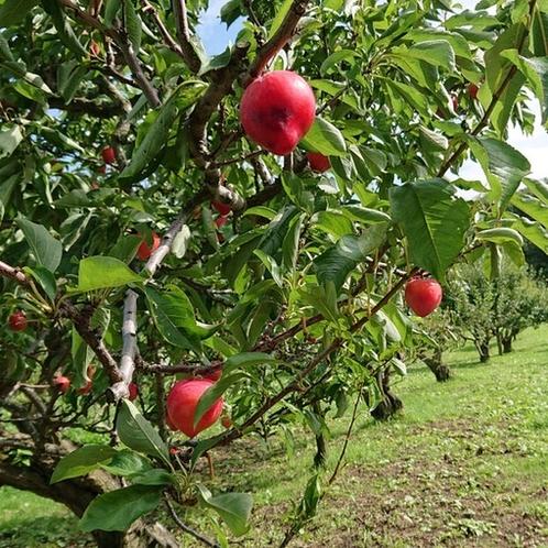 フルーツ園は、果物狩りが旬