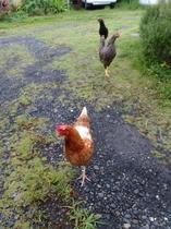 庭を自由に遊びまわるペットの鶏