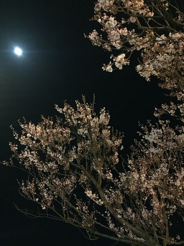 夜桜 Cherry blossum at night