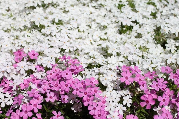 建物横の芝桜(春)