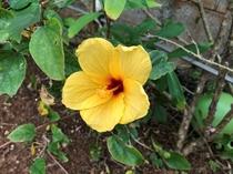 色とりどりのハイビスカスが咲きます
