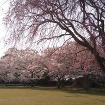 歴史公園「伯耆国分寺跡」は隠れた桜の名所。訪れる人も少なめで、ゆったりと桜が楽しめます。