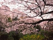 日比谷公園 桜