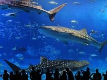 「美ら海水族館」悠々と泳ぐジンベイザメ