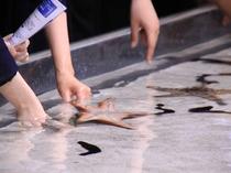「美ら海水族館」海の小動物に触れる水槽も   沖縄を代表する人気スポット「美ら海水族館」悠々と泳ぐジ