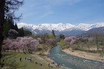 大出公園からの桜と北アルプス