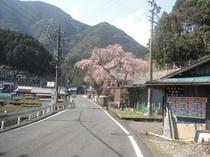 渡村の枝垂桜