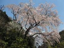 数珠窪の枝垂桜