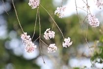 正丸峠ガーデンハウスの木々たちー枝垂桜