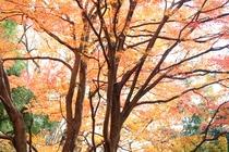 正丸峠ガーデンハウスの木々たちー紅葉