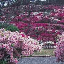 *【三隅公園】中国地方屈指のつつじの名所。山の斜面を埋め尽くすように咲き誇ります。