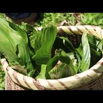 信州の短い春には、おいしい山菜がとれます