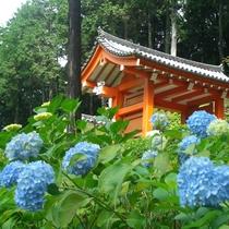 ◆京都観光★三室戸寺あじさい