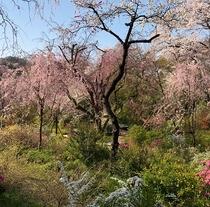 京都 桜の名所「原谷苑」