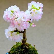 【丸くて可愛い和の美「季節の花・苔玉」づくり】
