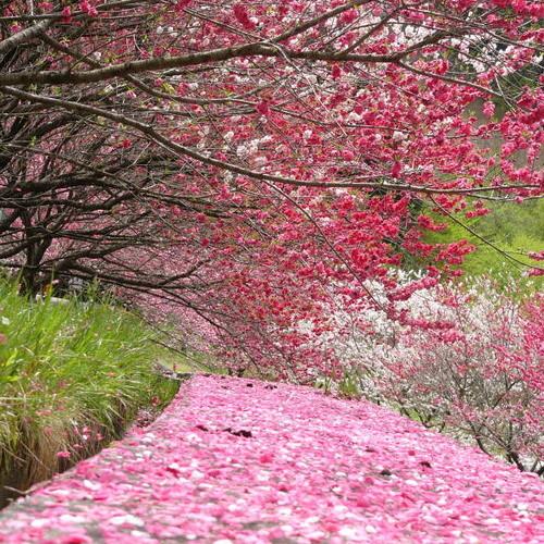 <花桃> 花桃の郷は例年4月下旬が見頃となります