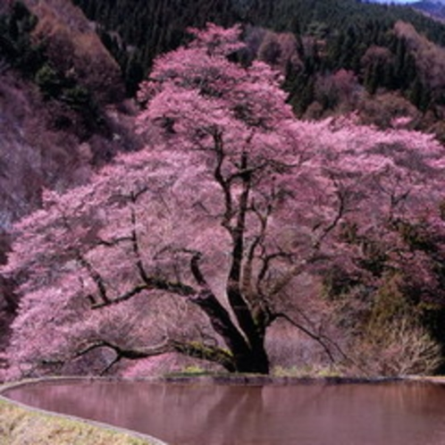 <駒つなぎの桜> 山奥に咲く古木の一本桜