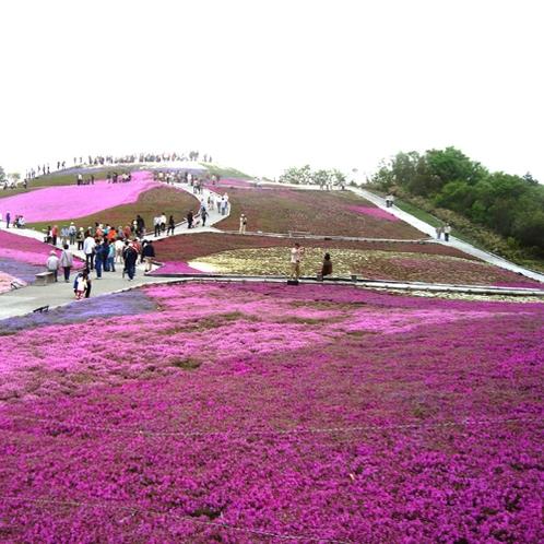 <茶臼山の芝桜> 毎年5月に芝桜まつりが開催されます
