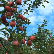 <りんご狩り> 採れたてのリンゴが食べ放題