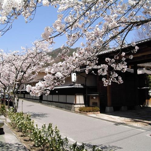 <桜並木> 旅館の川沿いは桜並木になっています