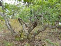 どんぐりの木 敷地内に生えている長年厳しい雪に耐え抜いたどんぐりの木