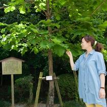土佐山内家家紋に使われた柏の木