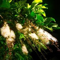 アクティビティ|幻の花サガリバナ