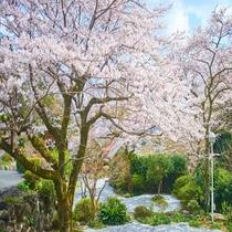 春は河津桜からソメイヨシノまで約1カ月半桜が楽しめます。