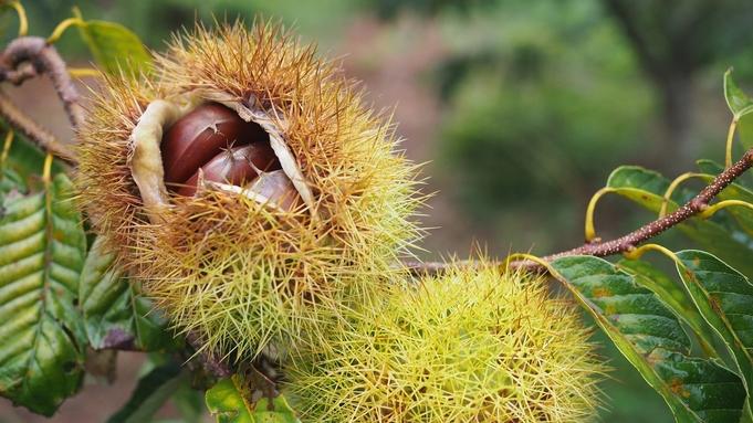 【しこくるり】【10月限定】地元松野の栗を贅沢に使用!栗づくしのディナーコースプラン