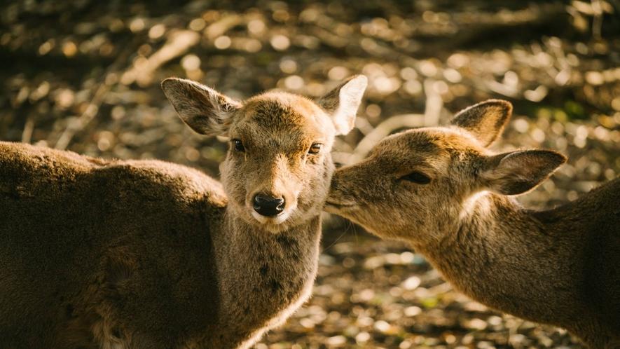 奈良公園の鹿たち (イメージ)